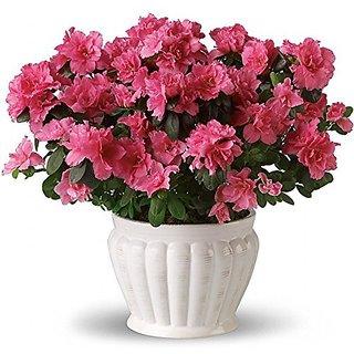 Flower Seeds : BottaS Clarkia Seeds For Organic Farming - Garden Flower Seeds Pack by Creative Farmer