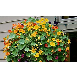Flower Seeds : Nasturtium Hanging Basket Climber Flower Plants- BeginnerS Pack (18 Packets) Garden Plant Seeds By Creative Farmer