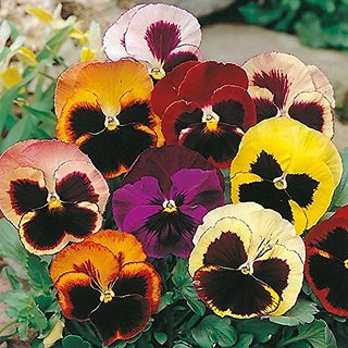 Flower Seeds : Pansy Hybrid Mix Seeds -Yellow, Brown,Red ,White And Pink Mix Plant Seeds Outdoor Plant Seeds (13 Packets) Garden Plant Seeds By Creative Farmer