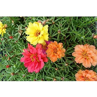 Flower Seeds : Gul Dopheri Plant Seeds Exotic (11 Packets) Garden Plant Seeds By Creative Farmer