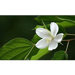 Flower Seeds : Bauhinia White Orchid Tree Flower For Terrace Gardening (17 Packets) Garden Plant Seeds By Creative Farmer