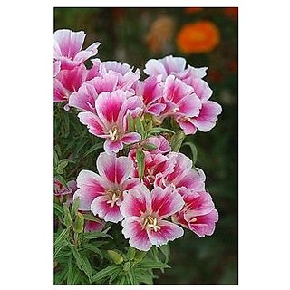Flower Seeds : BottaS Clarkia Flower Seeds For Planting - Kitchen Garden Pack by Creative Farmer