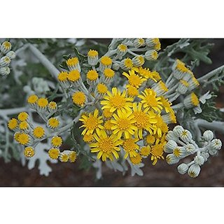 Flower Seeds : Dusty Miller Hyb Air Purifying (19 Packets) Garden Plant Seeds By Creative Farmer
