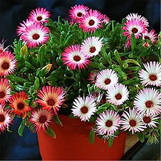 Flower Seeds : Pebble Plant Organic (5 Packets) Garden Plant Seeds By Creative Farmer
