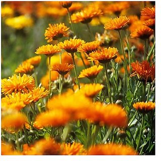 Flower Seeds : Ruddles Flower Mixed Seeds Garden For Flowers (7 Packets) Garden Plant Seeds By Creative Farmer