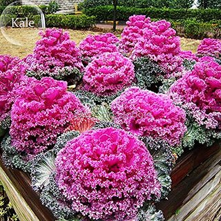 Flower Seeds : Ornamental Kale Mixima Mixed Flower Seed For Home Perfect For Terrace/ Balcony/Any Small Space (18 Packets) Garden Plant Seeds By Creative Farmer