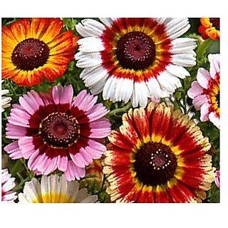 Flower Seeds : Chrysanthemum Rainbow Mix Home Ornamental Flower Seeds (19 Packets) Garden Plant Seeds By Creative Farmer