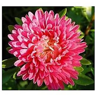 Flower Seeds : Aster Pomponent Formula Mix High Quality Seeds (4 Packets) Garden Plant Seeds By Creative Farmer
