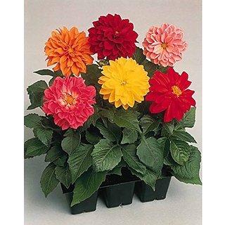 Flower Seeds : Dahlia Variabillis Top Star Beauty Mix Flowering Plant Seeds (2 Packets) Garden Plant Seeds By Creative Farmer