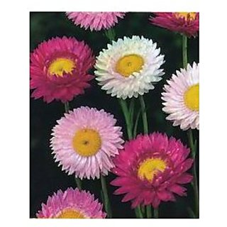 Flower Seeds : Acroclinum Double Mixed Seeds For Gardening (20 Packets) Garden Plant Seeds By Creative Farmer