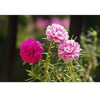Flower Seeds : Eleven OClock Best Quality Flower Seeds High Germination (16 Packets) Garden Plant Seeds By Creative Farmer