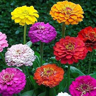 Flower Seeds : Zinnia Elegans Lilliput Mixed Garden Seeds Packets Plant Seeds Exotic (11 Packets) Garden Plant Seeds By Creative Farmer