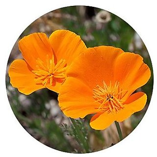 Flower Seeds : California Poppy Orange Plant Seeds Pack Terrace Roof Top Gardening (19 Packets) Garden Plant Seeds By Creative Farmer