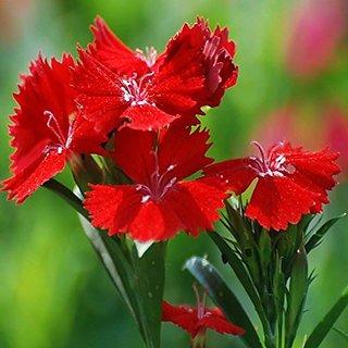 Flower Seeds : Dianthus-F2 Dwarf Mix Flower Seeds Growing Gardening Seeds (7 Packets) Garden Plant Seeds By Creative Farmer