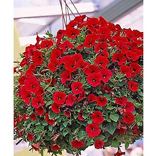 Flower Seeds : Red Petunia Hybrid Seeds Mixed Seeds (13 Packets) Garden Plant Seeds By Creative Farmer