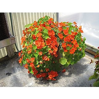 Flower Seeds : Nasturium Climber Flower Seeds For Pot Climber Flower Seeds- Outdoor Plant Seeds (9 Packets) Garden Plant Seeds By Creative Farmer