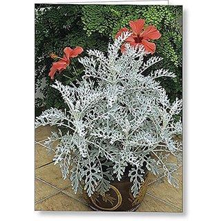 Flower Seeds : Velvet Centaurea Flower Seeds Of Winter Season Lawn Path (9 Packets) Garden Plant Seeds By Creative Farmer