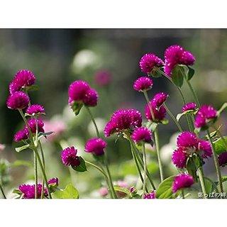 Creative Farmer Flower Seeds : Vaadaamalli Onam Floral Carpet Flower Flower Seeds For Garden - Kitchen Garden Pack