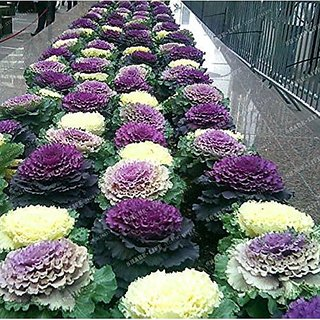 Flower Seeds : Ornamental Kale Viola Mixed Seed Roof Top Gardening (10 Packets) Garden Plant Seeds By Creative Farmer