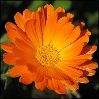 Flower Seeds : English Marigold Seeds Garden Seeds Flowers (16 Packets) Garden Plant Seeds By Creative Farmer