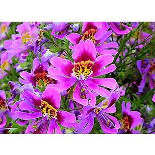 Flower Seeds : Schizanthus Orchid Like Flower Plant Seeds Hybrid Flower Plant Seeds Home Garden Décor (15 Packets) Garden Plant Seeds By Creative Farmer