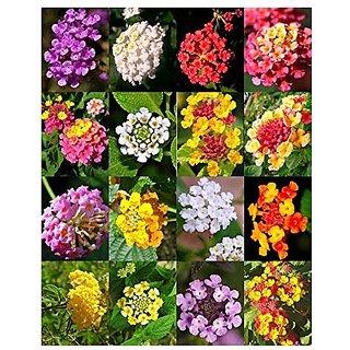 Flower Seeds : Verbena Butterfly Gardening Mix Flower Seed Ornamental Flowering Seeds (5 Packets) Garden Plant Seeds By Creative Farmer