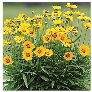 Flower Seeds : Coreopsis Auriculata Flower Seeds For Home Garden - Kitchen Garden Pack by Creative Farmer