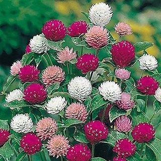 Flower Seeds : Chengkruk Gomphrena Garden Plants Seeds Flowering Plant (9 Packets) Garden Plant Seeds By Creative Farmer