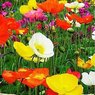 Flower Seeds : Papaver(Iceland Poppy)-Mixed Planting Flowers Garden Seeds Variety Pack (15 Packets) Garden Plant Seeds By Creative Farmer