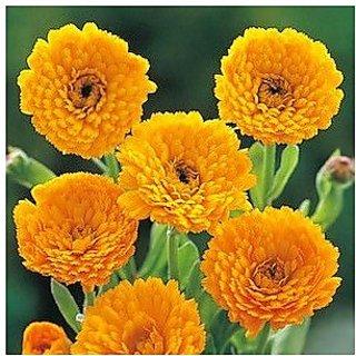 Flower Seeds : Genda Pot Marigold Yellow Flower Seeds Growing Hedge Garden (19 Packets) Garden Plant Seeds By Creative Farmer