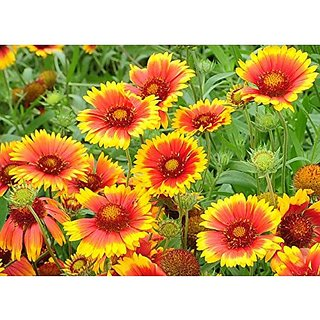 Flower Seeds : Asteraceae Flower Seeds Organic Flower Seeds For Pots (4 Packets) Garden Plant Seeds By Creative Farmer