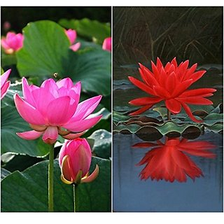 Flower Seeds : Pink Lotus / Waterlily Flower Seeds Flower Seeds Gift Basket 15 Seeds- Seeds For Indian Climate (17 Packets) Garden Plant Seeds By Creative Farmer