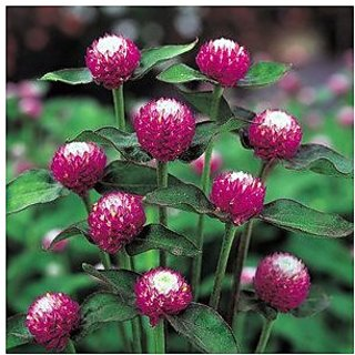 Flower Seeds : Gomphrena For Annual Beds Or Containers Growing Seeds - Garden Flower Seeds Pack by Creative Farmer