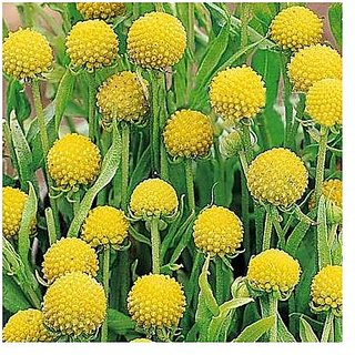 Flower Seeds : Craspedia Globosa Drumstick Seeds Seeds For Planting (15 Packets) Garden Plant Seeds By Creative Farmer