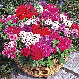 Flower Seeds : Phlox Twinkle Dwarf Mix Plant Seeds For Home (19 Packets) Garden Plant Seeds By Creative Farmer