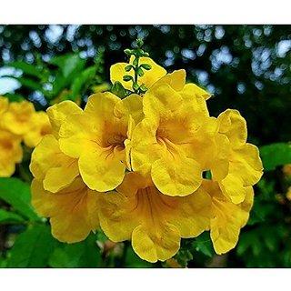Ornamental Tree Plants Ginger-Thomas Yellow Flower Creeper Flower Plant Seeds For Boundary Flowering Plant Seeds Garden Pack By Creative Farmer