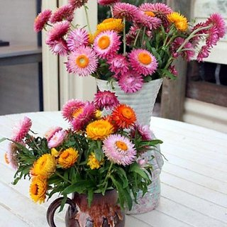 Flower Seeds : Helichrysam-Dwarf Mixed Seeds For Organic Farming - Garden Flower Seeds Pack by Creative Farmer