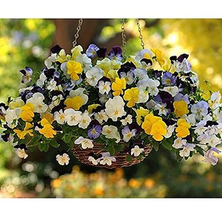 Flower Seeds : Pansy Small Orphan Seed Roof Garden (6 Packets) Garden Plant Seeds By Creative Farmer