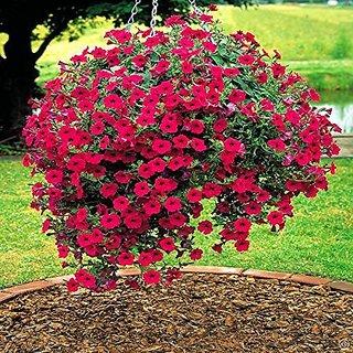 Flower Seeds : Petunia Double Cascade Mix Garden Seeds Flowers Semi Indoor Suitable (4 Packets) Garden Plant Seeds By Creative Farmer