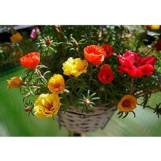 Flower Seeds : Portulaca Flower Seeds Garden Flowers Seeds Plant Seeds For Home (14 Packets) Garden Plant Seeds By Creative Farmer
