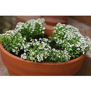 Flower Seeds : Alyssum-Royal Carpet Flower Seeds Hybrid Seeds For Kid Gardening (6 Packets) Garden Plant Seeds By Creative Farmer
