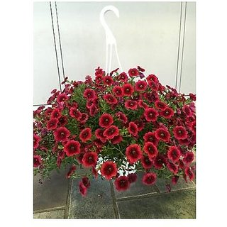 Flower Seeds : Dianthus Barbatus Beauty Color Flower Seeds (25 Packets) Garden Plant Seeds By Creative Farmer