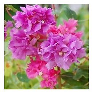 Flower Seeds : Mountain Garland Seeds Hybrid Seed Packet (14 Packets) Garden Plant Seeds By Creative Farmer