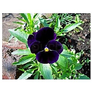 Flower Seeds : Black Pansy Hybrid Seeds Garden Seeds Flowers Flower Seeds (8 Packets) Garden Plant Seeds By Creative Farmer