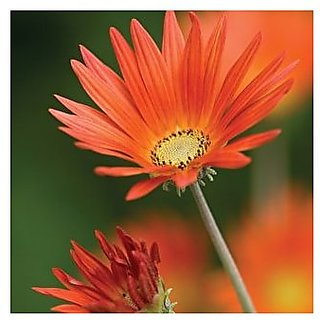Flower Seeds : Daisy Orange Mixed Quality Seeds (19 Packets) Garden Plant Seeds By Creative Farmer