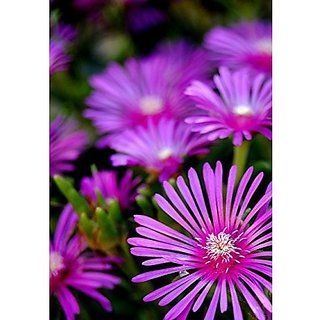 Flower Seeds : Ice Plant Early Garden Balcony (15 Packets) Garden Plant Seeds By Creative Farmer