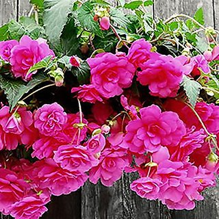 Flower Seeds : Hanging Begonia Flowering Plant (17 Packets) Garden Plant Seeds By Creative Farmer