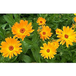 Flower Seeds : Pot Marigold Mixed Flower Seeds Organic - Garden Flower Seeds Pack by Creative Farmer