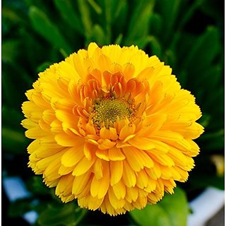 Flower Seeds : Genda Pot Marigold Mixed Seeds Winter Flowers Garden Seeds For Balcony (7 Packets) Garden Plant Seeds By Creative Farmer