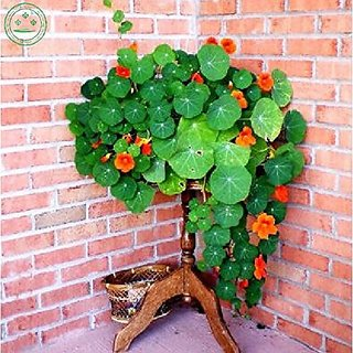Flower Seeds : Climbing Nasturtiums Variety Seeds For Terrace And Kitchen Gardening (13 Packets) Garden Plant Seeds By Creative Farmer